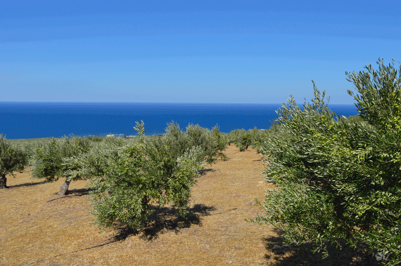 Livadia Olive Grove 1