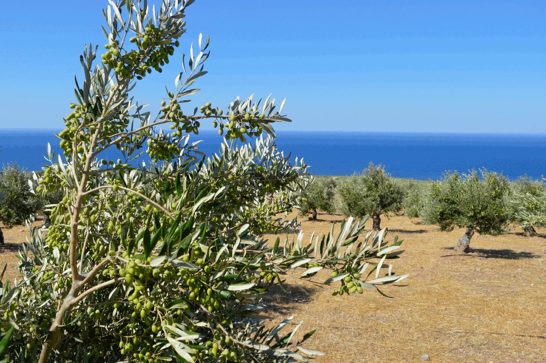 Livadia Olive Grove 2