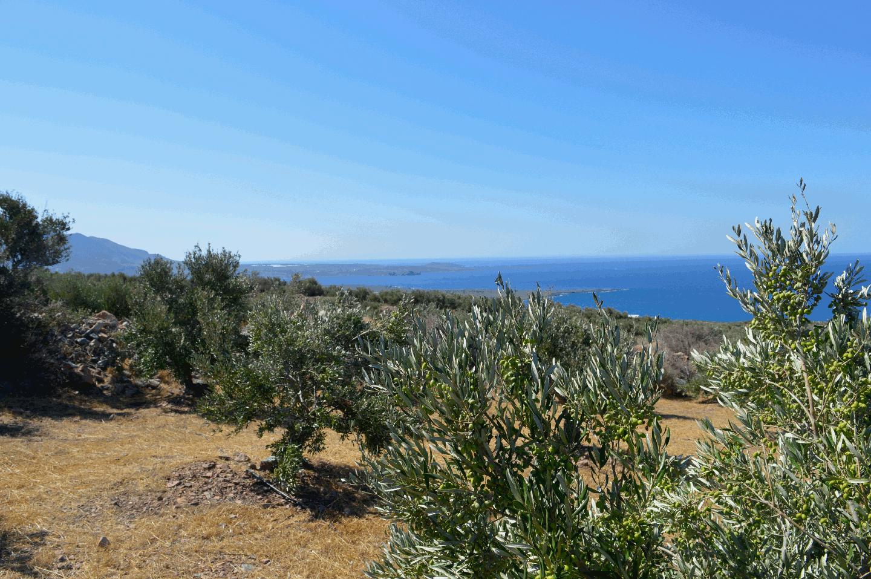 Livadia Olive Grove 3