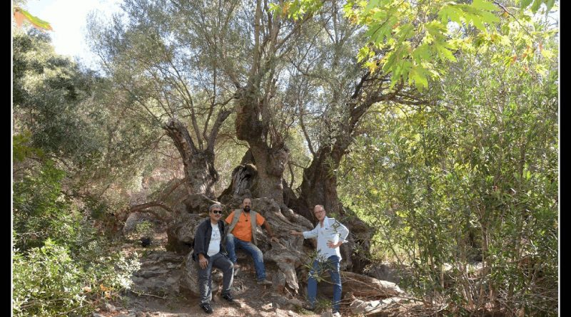 Thousands of years old olive tree in Plokamiana
