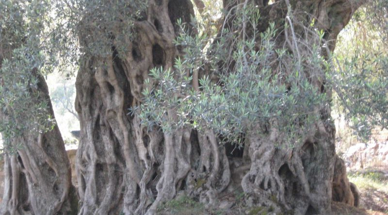 Ancient land of olive trees