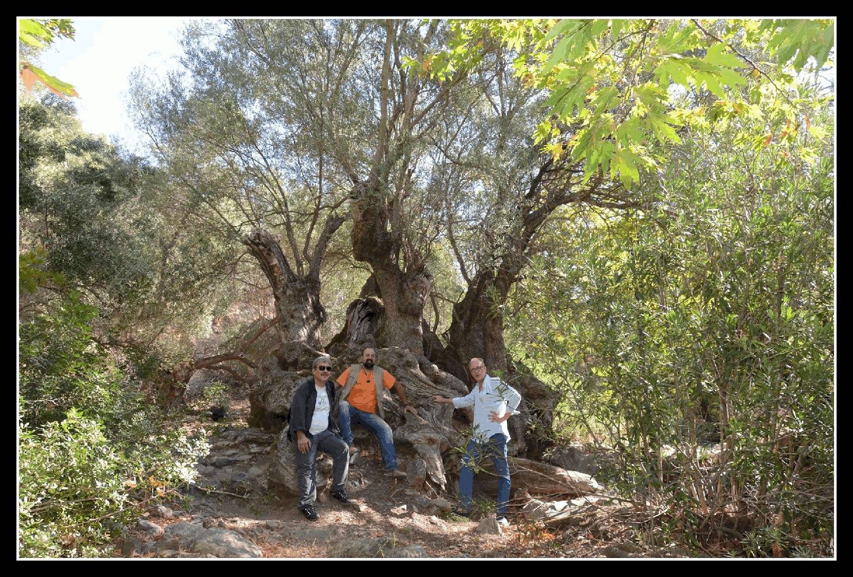 Olive tree Plokamiana